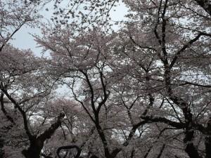小金井公園桜